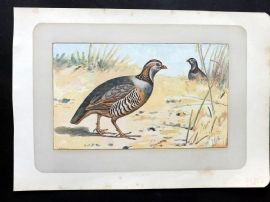 Mahler 1907 Antique Bird Print. La Perdrix Gambra. Barbary Partridge